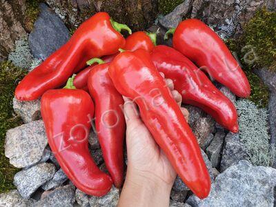 Pepper 'Aconcagua'