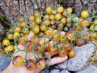 Томат «Amethyst Cream Cherry»