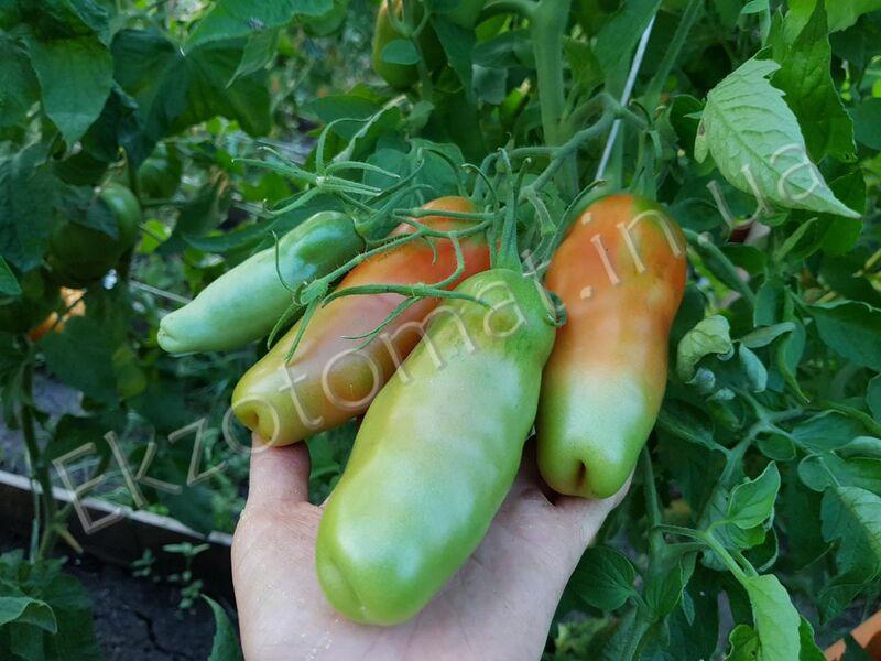 универсальный томат аурия отзывы фото урожайность просторен