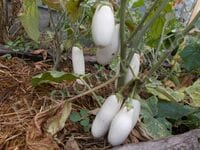 Баклажан «Белая лилия»
