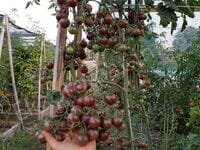 Томат «Black Cherry»