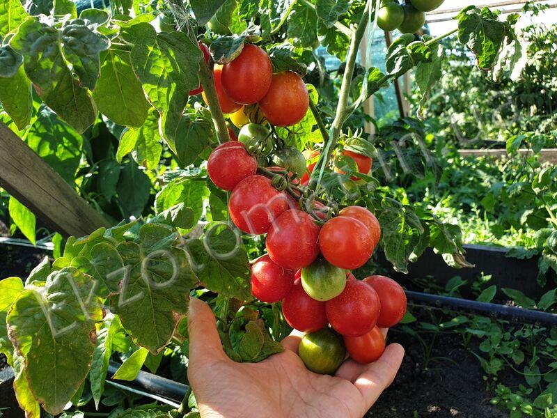 Tomato Bonsai Red