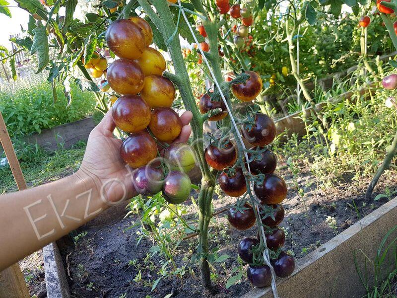Tomato Bosque Blue Bumblebee