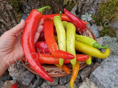Pepper 'Cicak'
