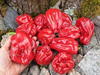 Pepper 'Criolla de Cocina'