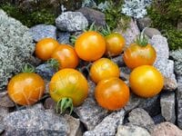 "Томат ""Dark Orange Muscat"""