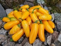 """Перец """"Jalapeno NuMex Orange Spice"""""""