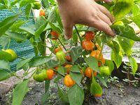"""Перец """"Mini Bell Orange"""""""