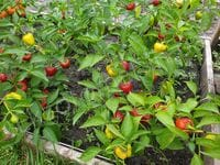 Pepper 'Mini Bell Red'