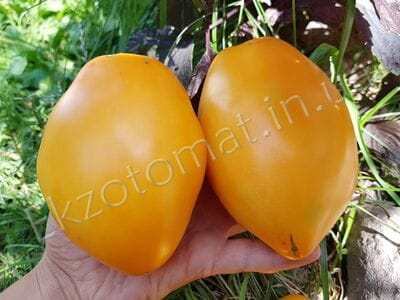 Томат «Минусинские стаканы оранжевые»