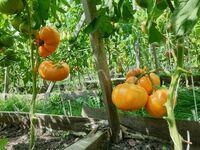 """Томат """"Orange Jazz"""""""