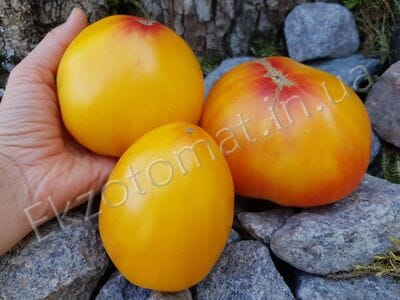 Томат «Orange russian 117»