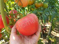 """Томат """"Peach Blow"""""""