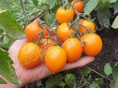 "Томат ""Pendulina Orange"""
