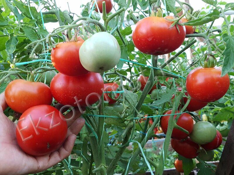 Сорт помидор подснежник описание фото отзывы