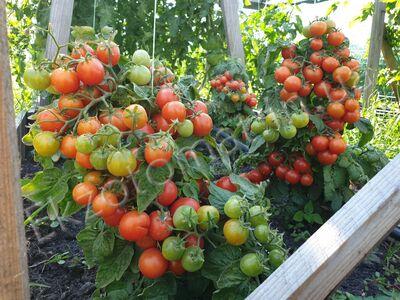 Tomato 'Red Robin Micro Dwarf'