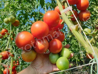 Tomato 'Seiger'