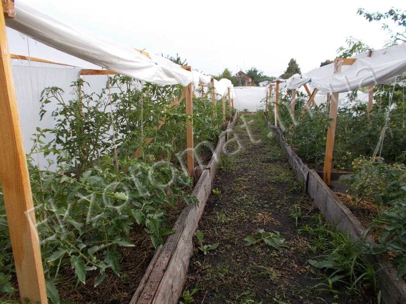 Как подвязывать и пасынковать томаты?