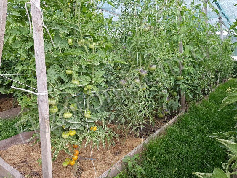 Как поливать томаты?