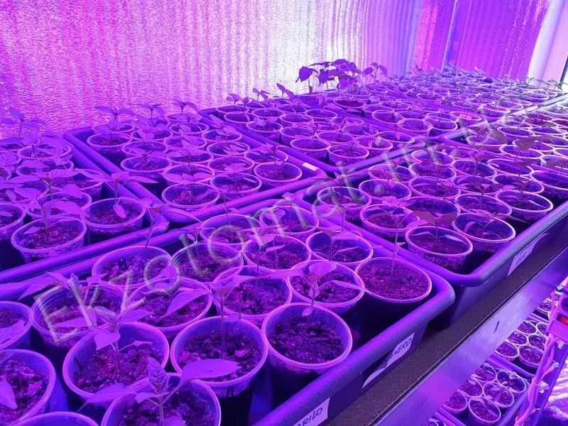 Как мы выращиваем перцы?