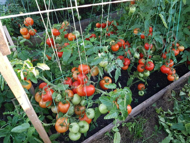 томат видимо невидимо отзывы и фото может выглядеть