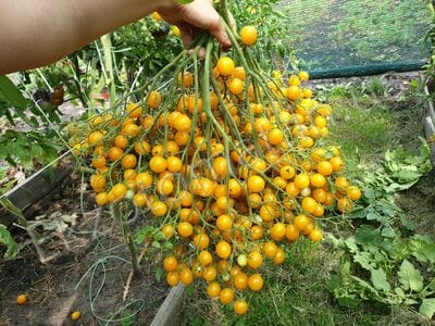 "Томат ""Yellow Quarts Multiflora"""